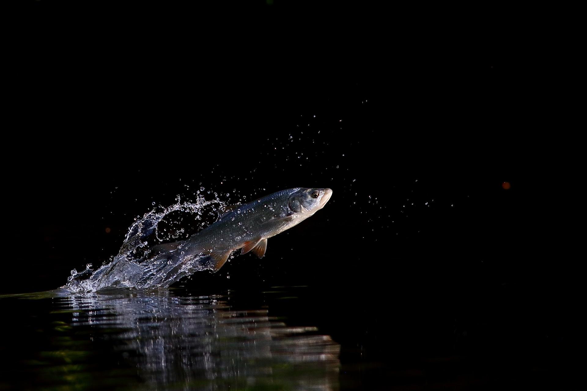 Fotó: Botos Éva: Kiugró formában<br />Kategória: Az állatok viselkedése<br />Helyezés: 1. díj<br /><br />Kérészekre vadászó balin ugrik ki a vízből tiszavirágzás idején a Tisza-tó térségében. A fotó sok évnyi megfigyelés, megannyi exponálás és némi szerencse eredménye. Állvány nélkül, kézből fotózva.