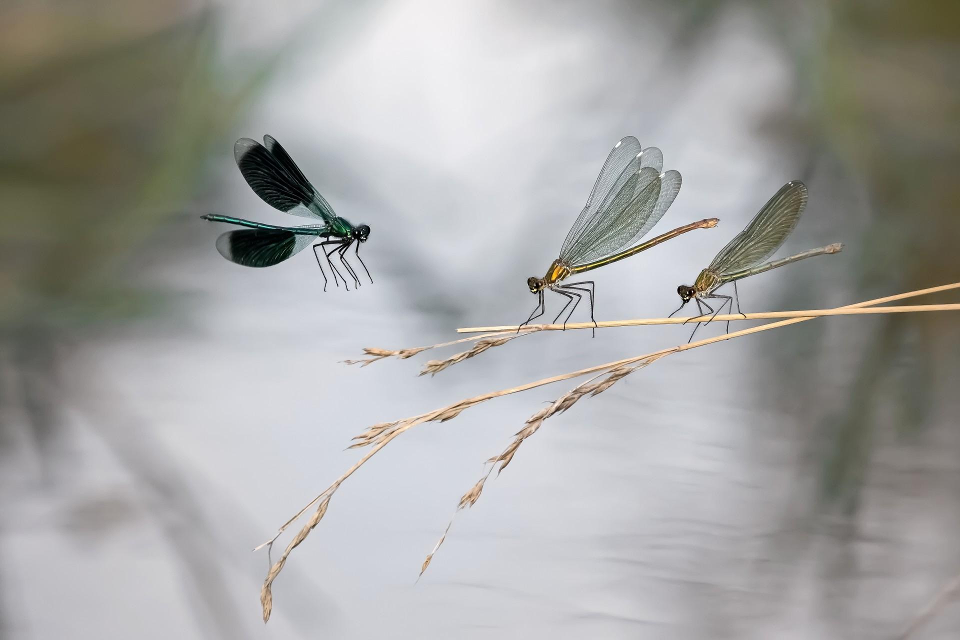 Fotó: Hencz Judit: Helló lányok<br />Kategória: Az állatok viselkedése<br />Helyezés: 3. díj<br /><br />A Sávos szitakötő hímje repül a 'hölgyek' felé, egy meleg nyári délután a Szilas-pataknál. Duna–Ipoly Nemzeti Park.