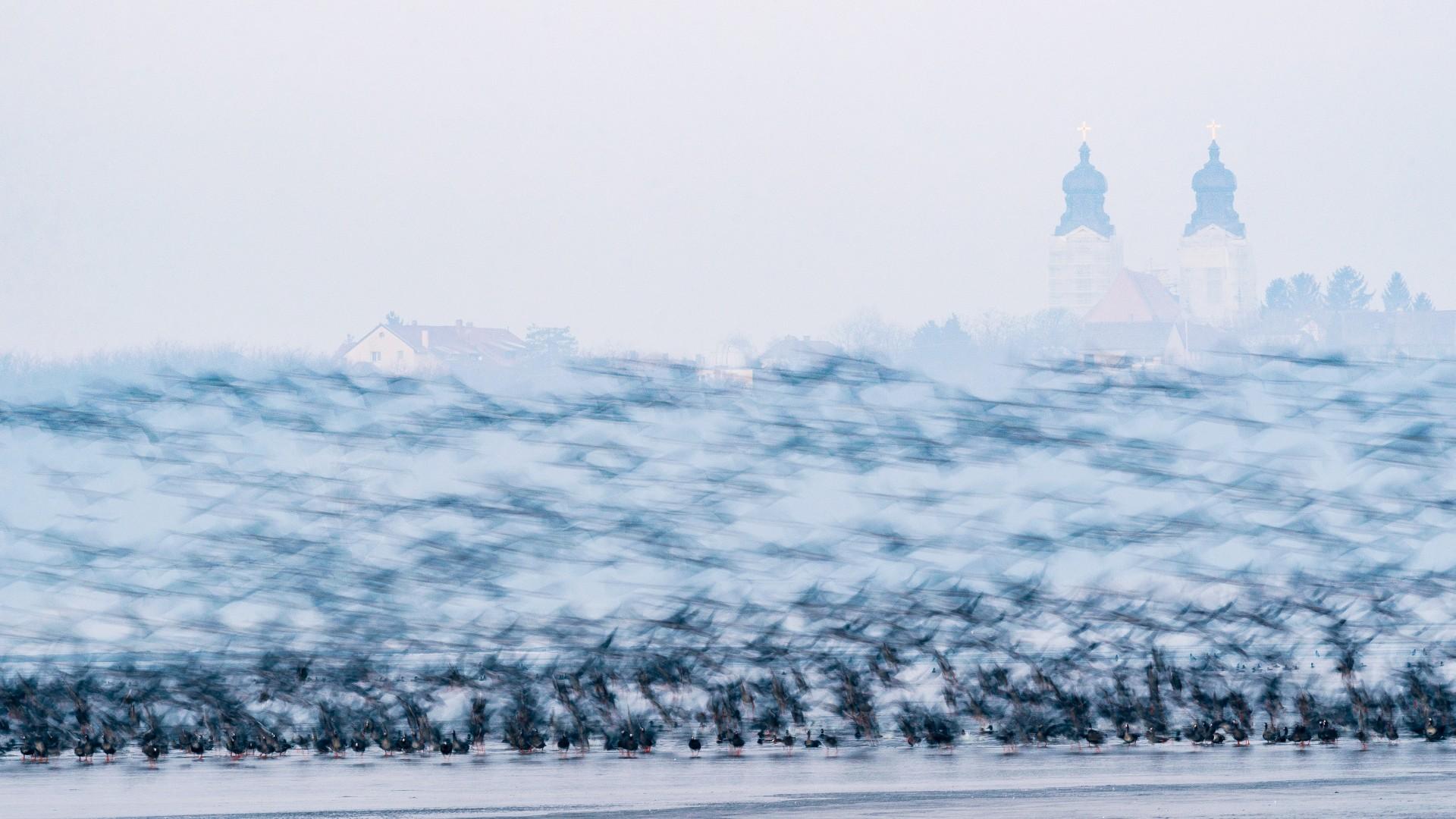 Fotó: Aliczki Manó: Hajnali gyülekezet<br />Kategória: Állatok és környezetük<br />Helyezés: 2. díj<br />Dr. Tildy Zoltán-díj, az Uniqball támogatásával <br /><br />A tatai Öreg-tavon éjszakázó madarak - elsősorban nagy lilikek - tájat befedő rajokban történő hajnali kihúzása a ködös, hideg téli napokon, lélegzetelállító látványt nyújt. A sikeres helyi természetvédelmi intézkedéseknek köszönhetően, mint a szilveszteri tűzijátékok és a petárdák használatának betiltása, a tavon évről-évre egyre nagyobb, akár több tízezres egyedszámú vadlúdcsapatok telelnek.