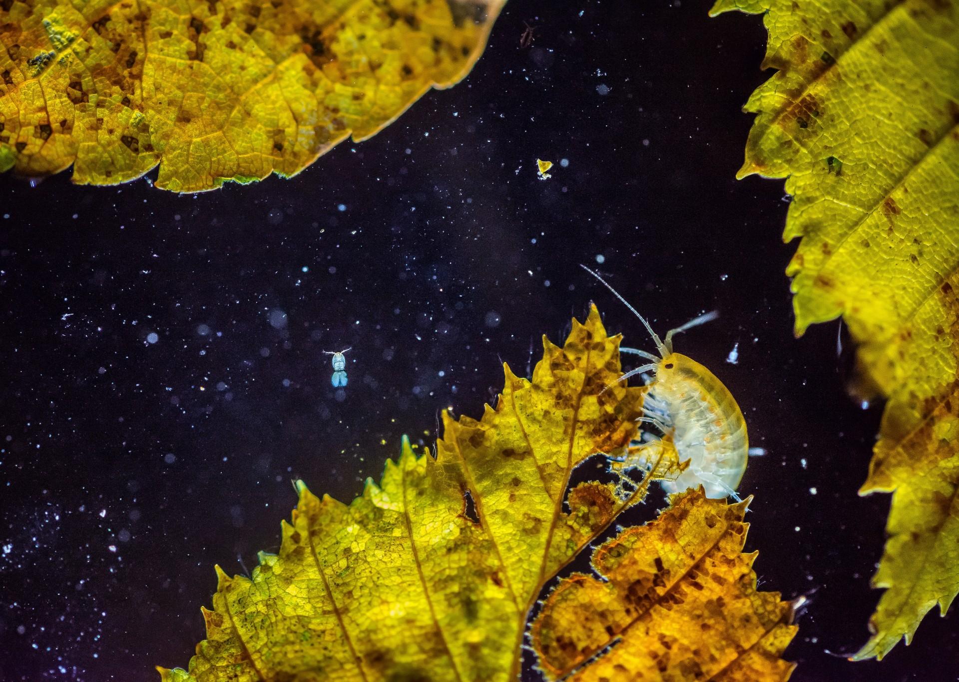 """Fotó: Potyó Imre: A bolharák univerzuma<br />Kategória: Állatok és környezetük<br />Helyezés: 3. díj<br /><br />A másfél centiméteres bolharákok, a 1 mm-nél is kisebb, űrhajóra emlékeztető evezőlábú rákok és a sodródó, apró szerves törmelékek együttese lebeg egy börzsönyi patak felszínén úszó levelek közt. Éjjel, minden természetes fényt kizárva merültem bele az alkotásba. A víz alá helyezett zseblámpával létrehoztam az ellenfényt, amely meghökkentő kaput nyitott egy másik univerzumra: 'csillagok"""" fényében, színpompás """"égitesteken"""" lakmározó bizarr lények, miniatűr űrhajóként száguldozó kandicsrákok (Cyclops sp.). A színes levelek csak egy napon keresztül mutatták ezt a formájukat, másnapra sajnos lesüllyedtek az aljzatra."""