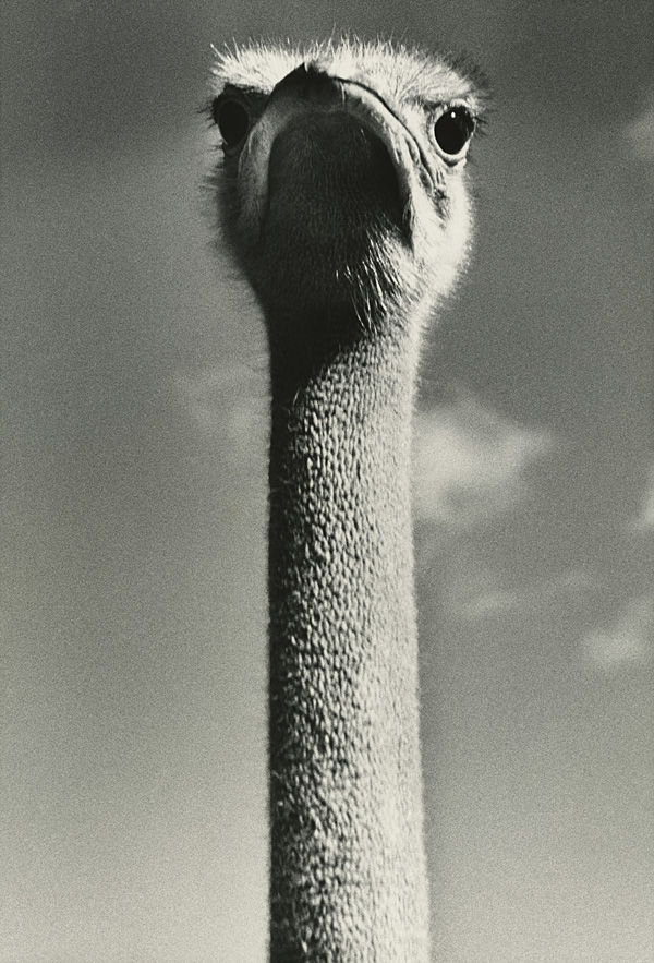 Photo: Ylla: Ostrich Head, USA, 1940's © Pryor Dodge