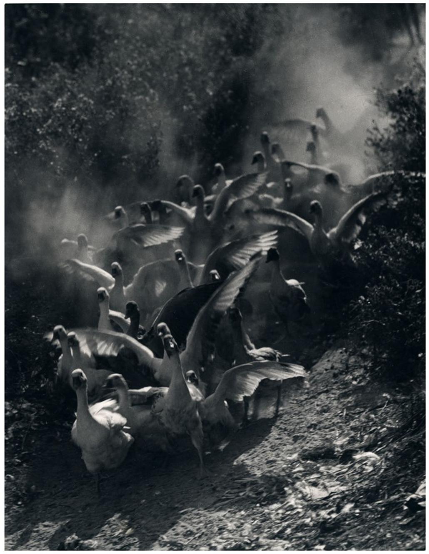 Fotó: Vadas Ernő: Libák, 1934(?) © Magyar Fotográfiai Múzeum