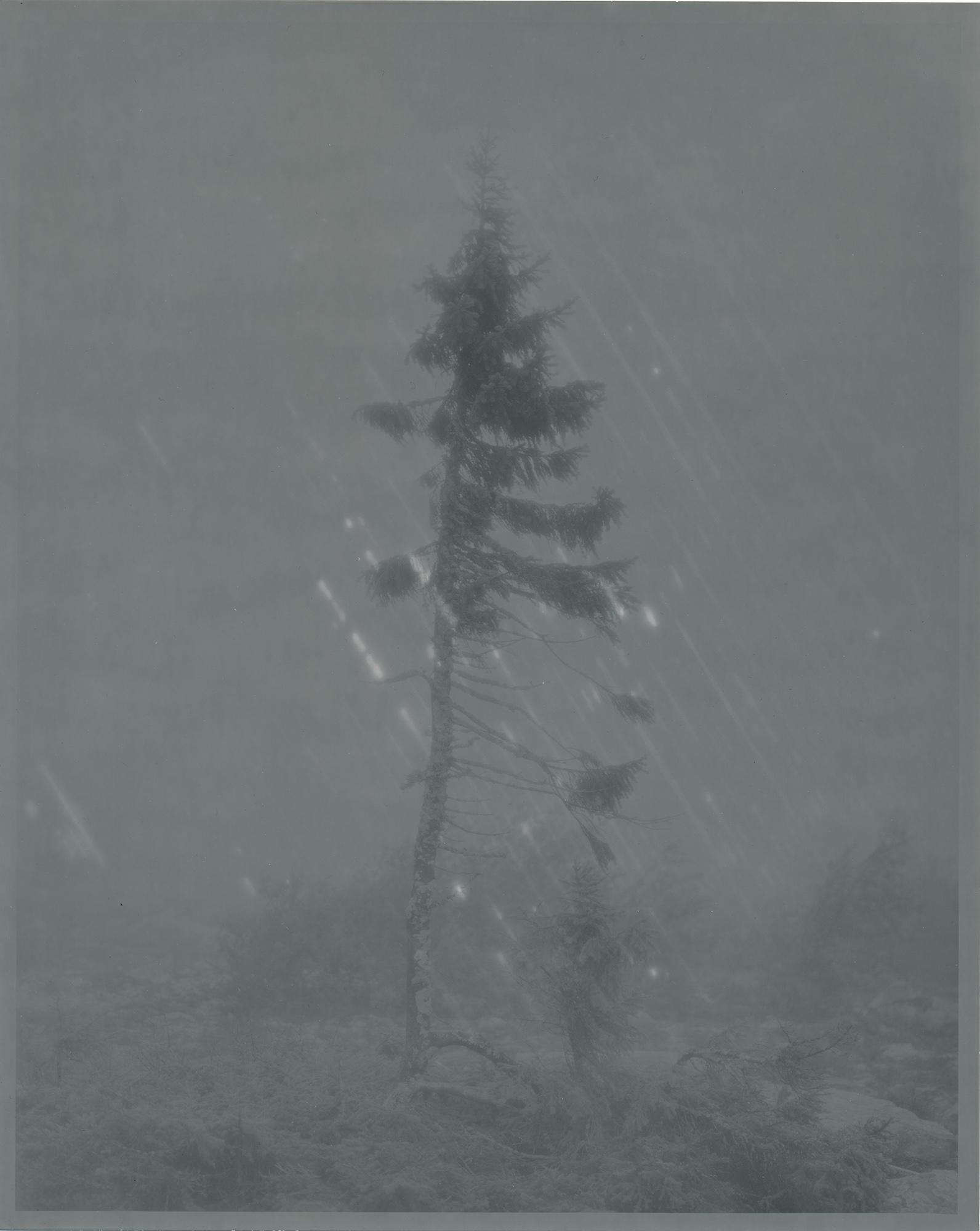Fotó: Nicolai Howalt: Old Tjikko, Ilford Multigrade Velvet, lejárat: 1964. szeptember