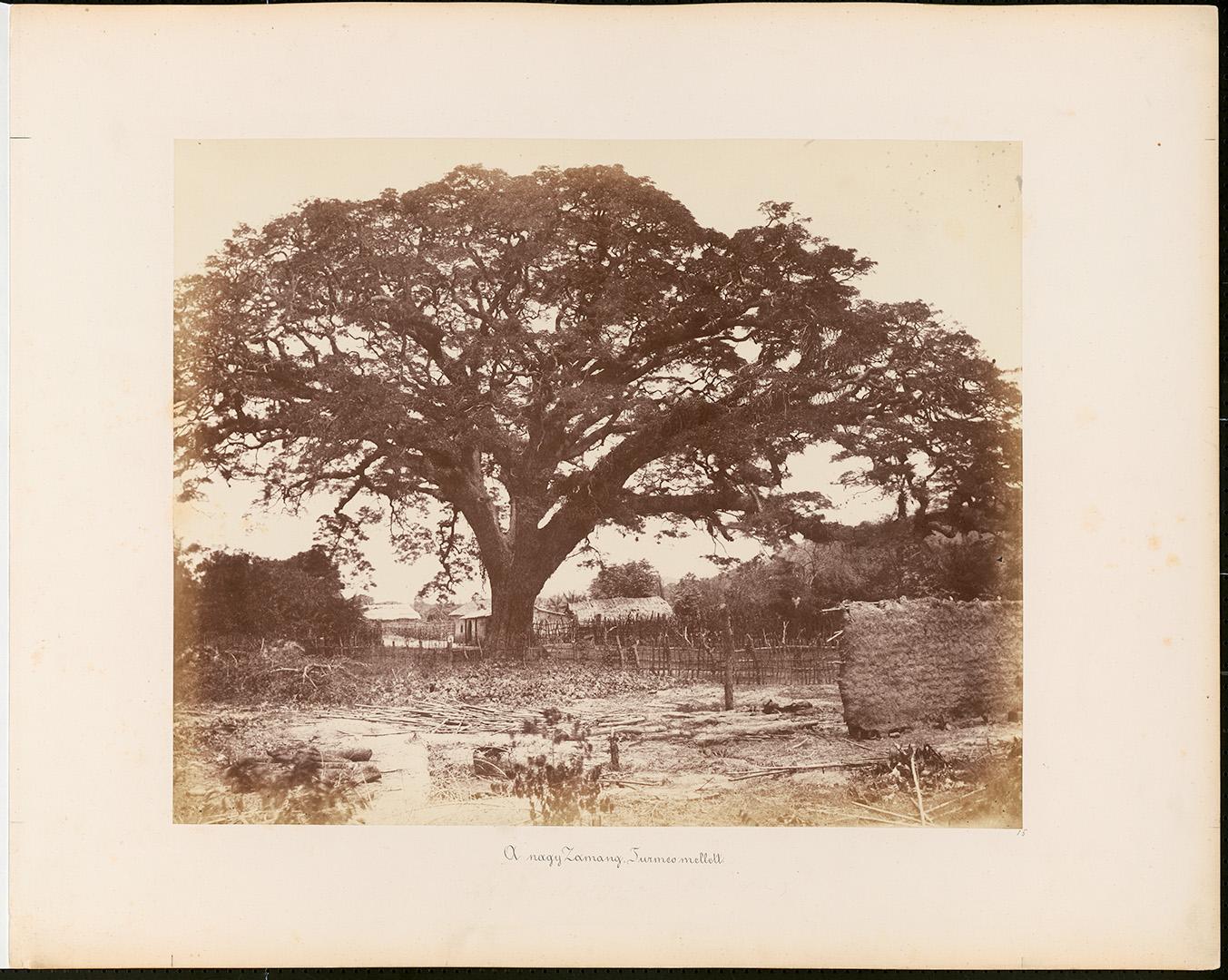 Fotó: Rosti Pál: A nagy zamang fa Turneo mellett, 1857, Venezuela © Magyar Fotográfiai Múzeum <br />