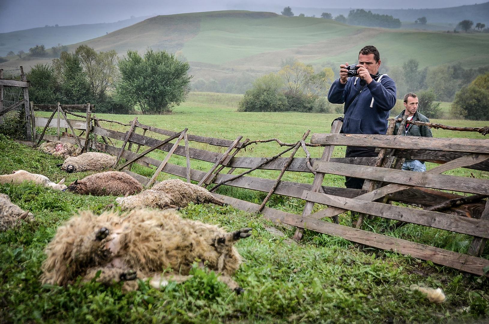 Természet és tudomány (sorozat)<br />3. díj: Barabás Ákos (Székelyhon.ro): Medvekrízis Székelyföldön<br /><br />Fotó: Medve tört rá a karámba rekesztett juhokra Felsőboldogfalván, 2015 október 6-án. Ezidőtájt kezdtek elszaporodni a nagyvadak és a velük járó gondok. Egyre több gazda kereste fel a sajtót, azt remélve, hogy a megjelent cikkeknek köszönhetően könnyebben megkapják a román állam által beígért kártérítéseket. Már-már rutinmunkává vált egy hasonló eset közlése a médiákban.