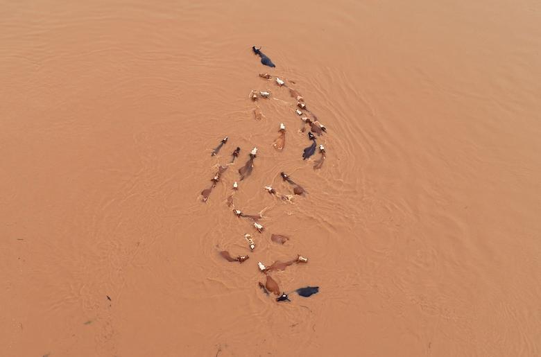 Fotó: A szarvasmarhák a heves esőzések utáni árvízben, Jian, Jiangxi tartomány, Kína, 2019. június 12. © REUTERS/Stringer