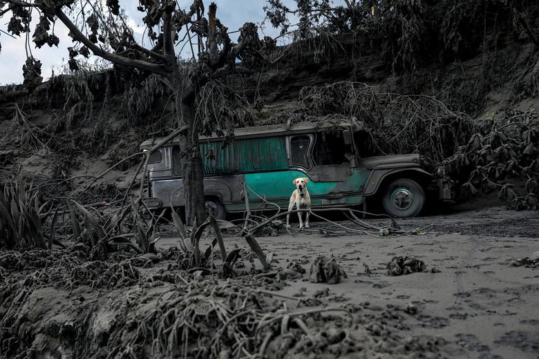 Fotó: A hamuval borított tájban egy elhagyott kutya ugat a Taal vulkán közelében, a Fülöp-szigeteki Batangas városában, Talisay, 2020. január 13. REUTERS / Eloisa Lopez