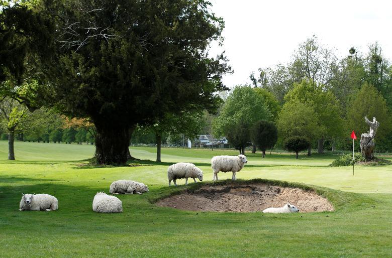 Fotó: Juhok legelésznek az Avington Park golfpályán, Avington, Nagy-Britanniában, 2020. május 1. REUTERS / Peter Cziborra<br />