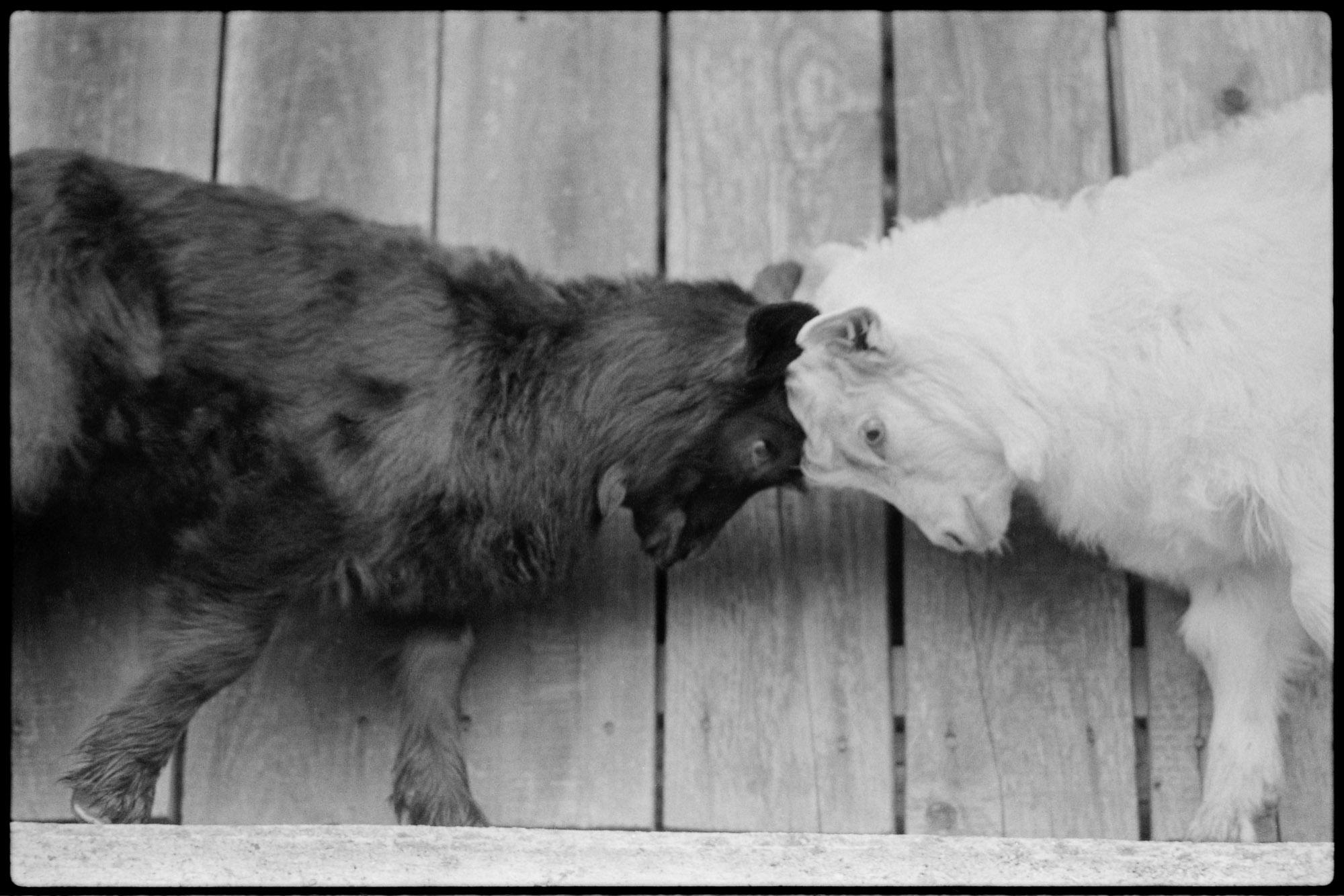 9405-1-10_19_black_and_white_goats.jpg
