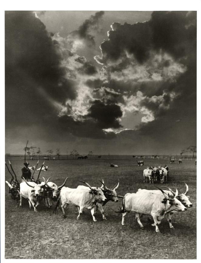 Fotó: Balogh Rudolf: Hatos ökörfogat 2., 1930 © Magyar Fotográfiai Múzeum
