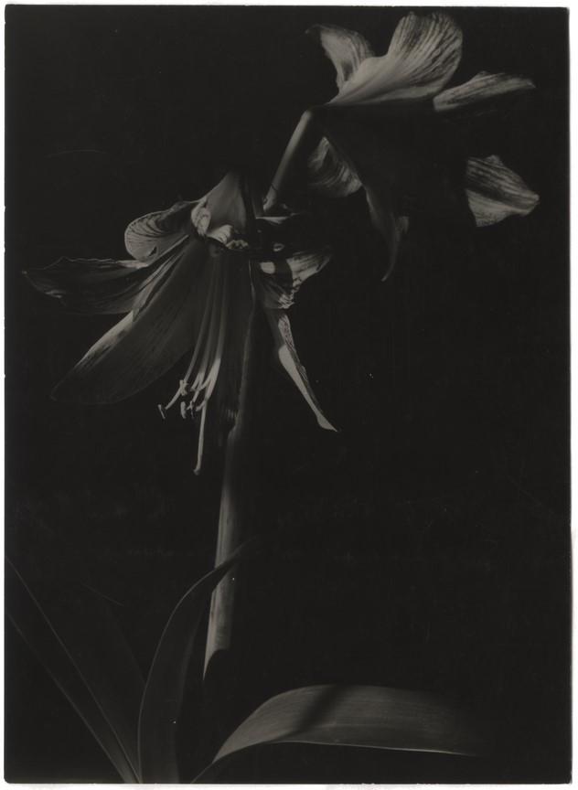 Fotó: Máté Olga: Amarillis. 1930 k. brómezüst zselatin © Magyar Fotográfiai Múzeum