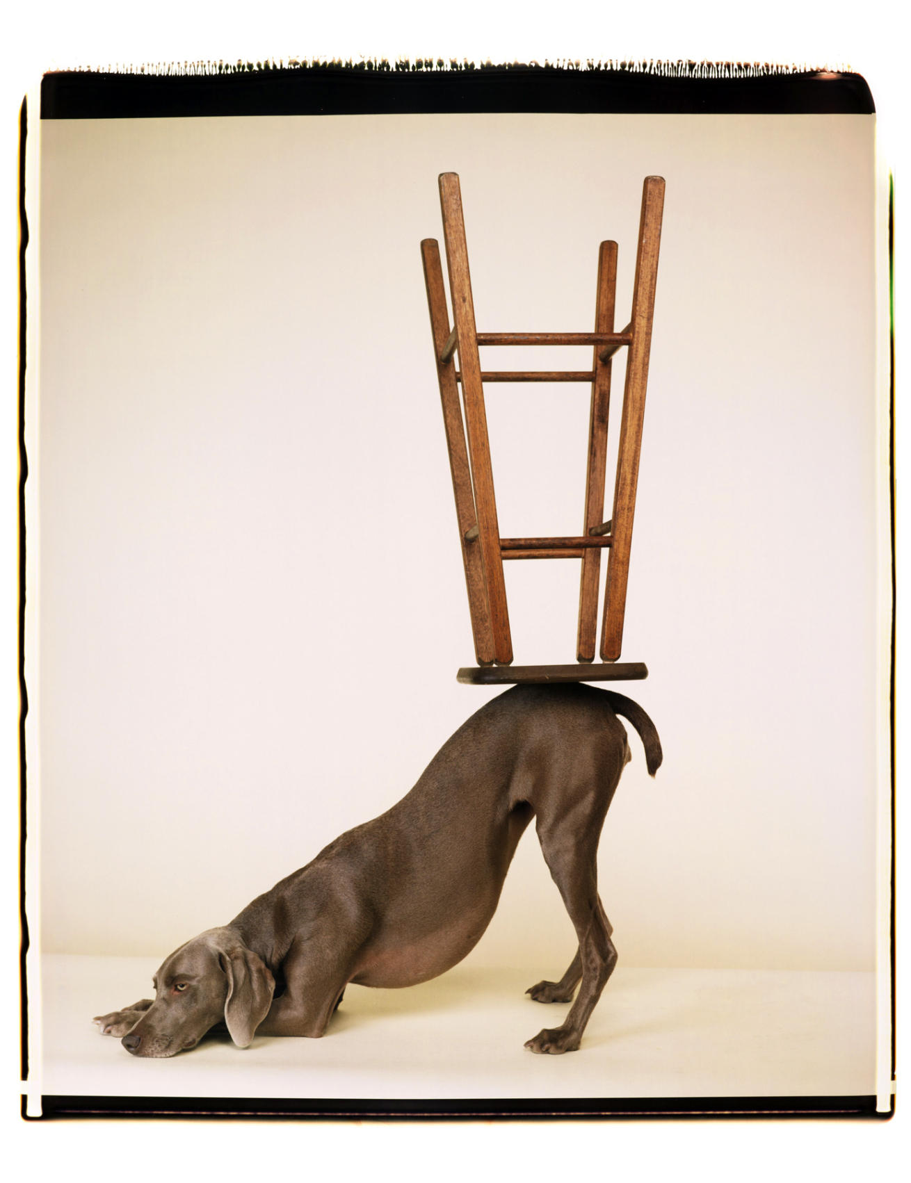 Fotó: William Wegman: Upside Downward, 2006 © William Wegman