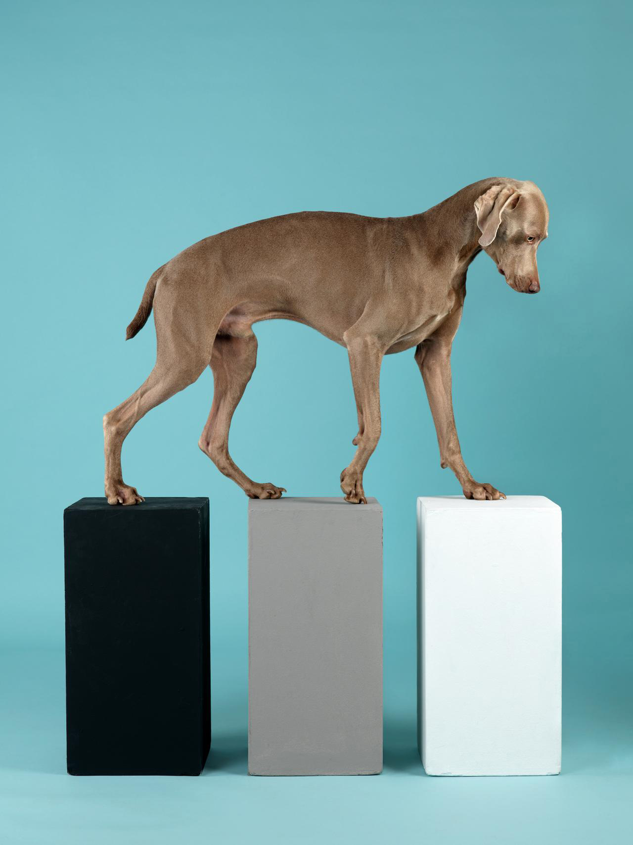 Fotó: William Wegman: Contact, 2014, Collection of the artist © William Wegman