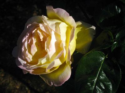 rozsa3.jpg