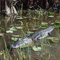 Tudtad, hogy kerül az aligátor a tányérra?
