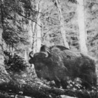 Az utolsó erdélyi bölény (1858)
