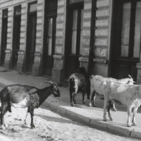 Kecskefejés a bulevardulon - Bukarest retró