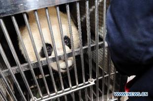 Jól vannak a makaói pandák
