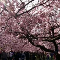 Cseresznyevirágzás a Bispebjerg temetőben