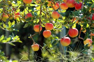 Legyen saját gyümölcsöse Önnek is  pár egyszerű lépésben!