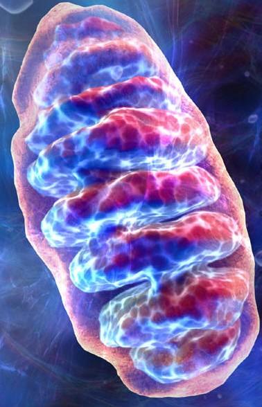 mitochondria.jpg