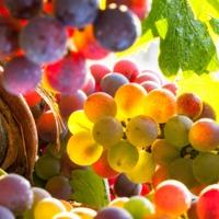 Szüret 2019: 300 millió liter bor készül az idei termésből!