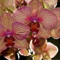 Orchideák a lakásban