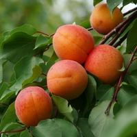 Gyümölcsfák betegségeire házi megoldás - Kajszi verticilliumos hervadása