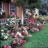 Márciusi teendők - Rózsák