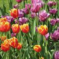 Tulipán és egyéb hagymás virág