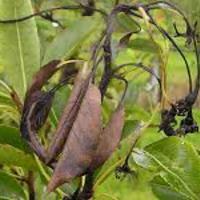 Gyümölcsfák betegségeire házi megoldás - Tűzelhalás (Erwinia amylovora)