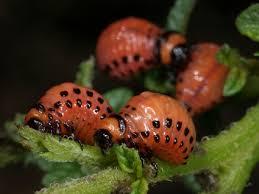 krumplibogar_larva.jpg