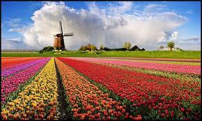 tulipan.jpg