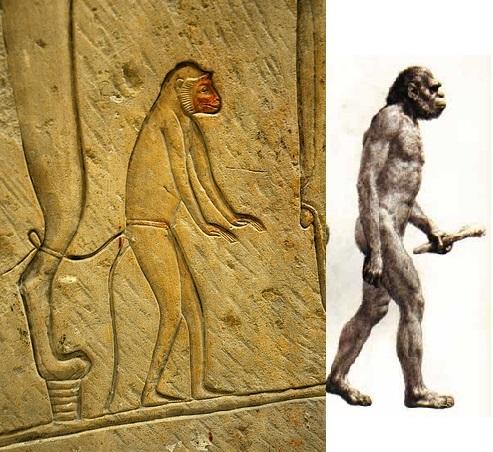 5. . A páviánember és a homo habilis.jpg