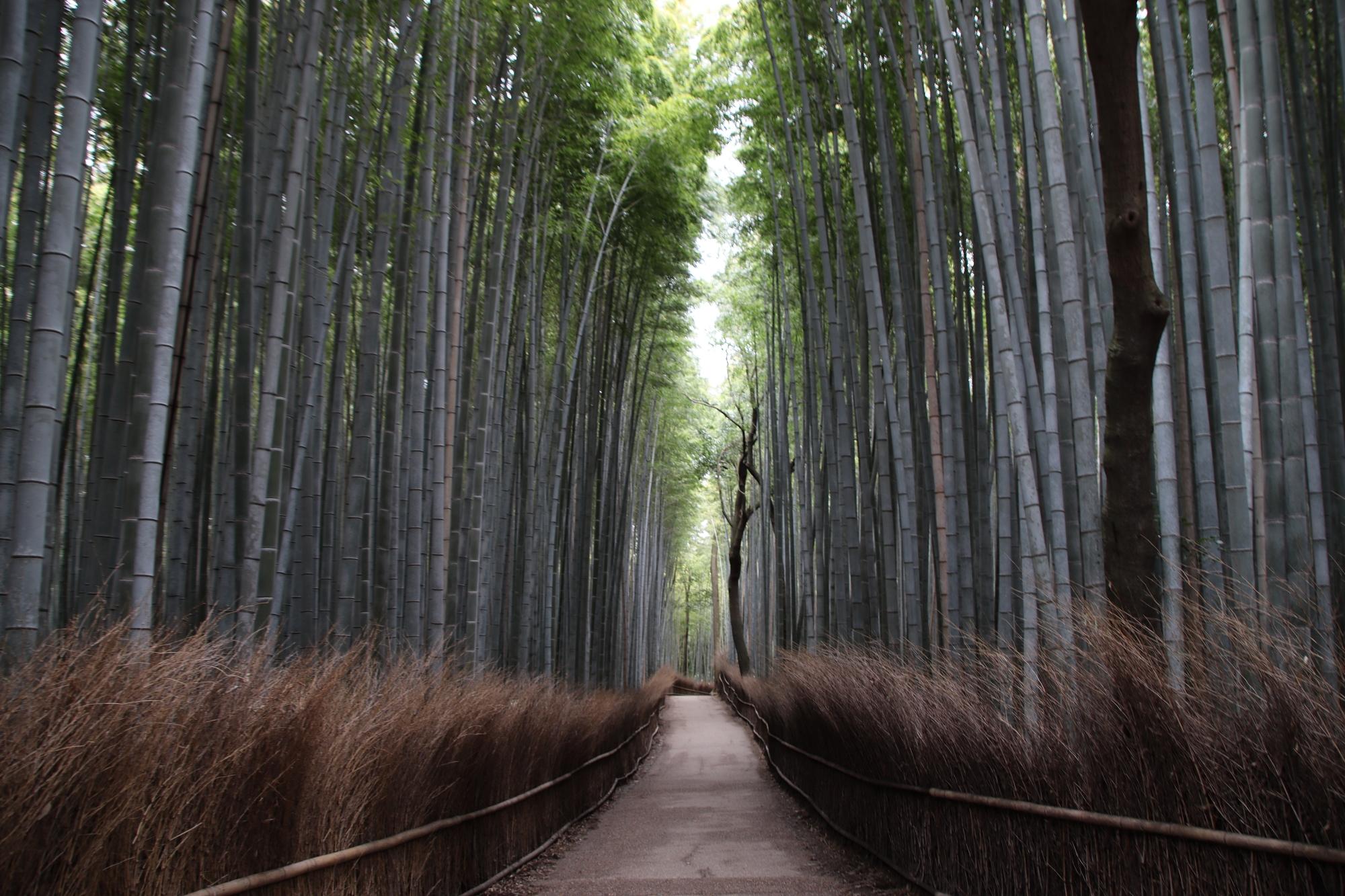 bambuszerdo_arasijama.JPG