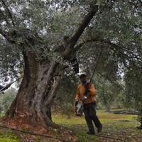 Hiánycikk lesz az olívaolaj?