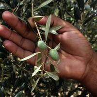 India, mint vezető olívaolaj-gyártó?