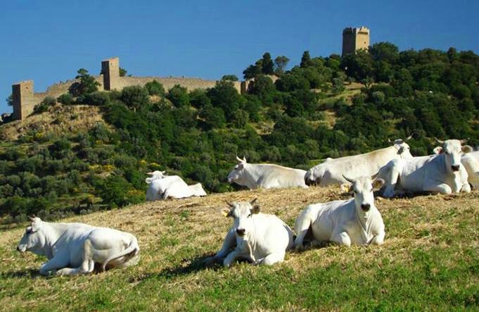 chianina_cattle_tuscany.jpg