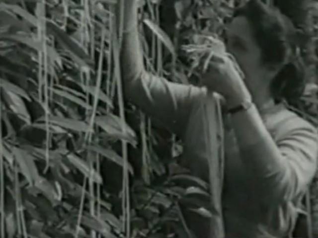 BBC Panorama 1957 spagettifa.jpg
