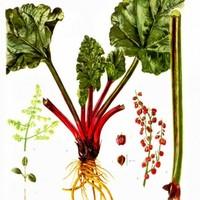 Mi is az a rebarbara? Egy zöldség, amit desszertként eszünk