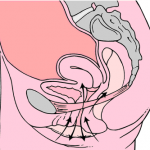 kegel_exercises_diagram1-150x150_1.png