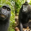 Hiába szelfizik a majom, nem az övé a kép