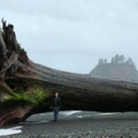 Óriási uszadékfa a Washington állambeli La Push-ban