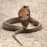 Megharapott egy kobra? Ne legyél nyuszi, harapd vissza!