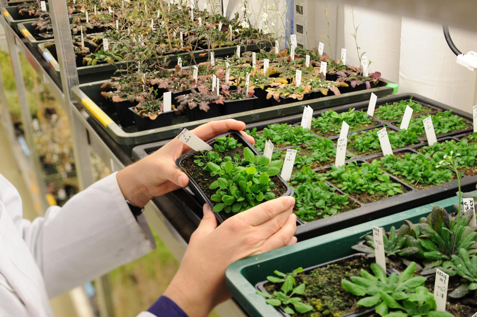 Arabidopsis_thaliana.jpg