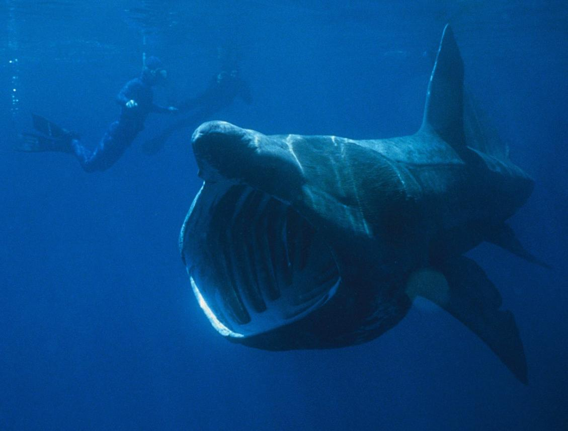 Megamouth-Shark-Fish4.jpg