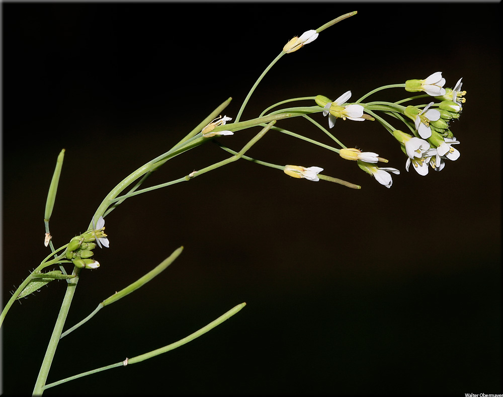 arabidopsis-thaliana-10.jpg