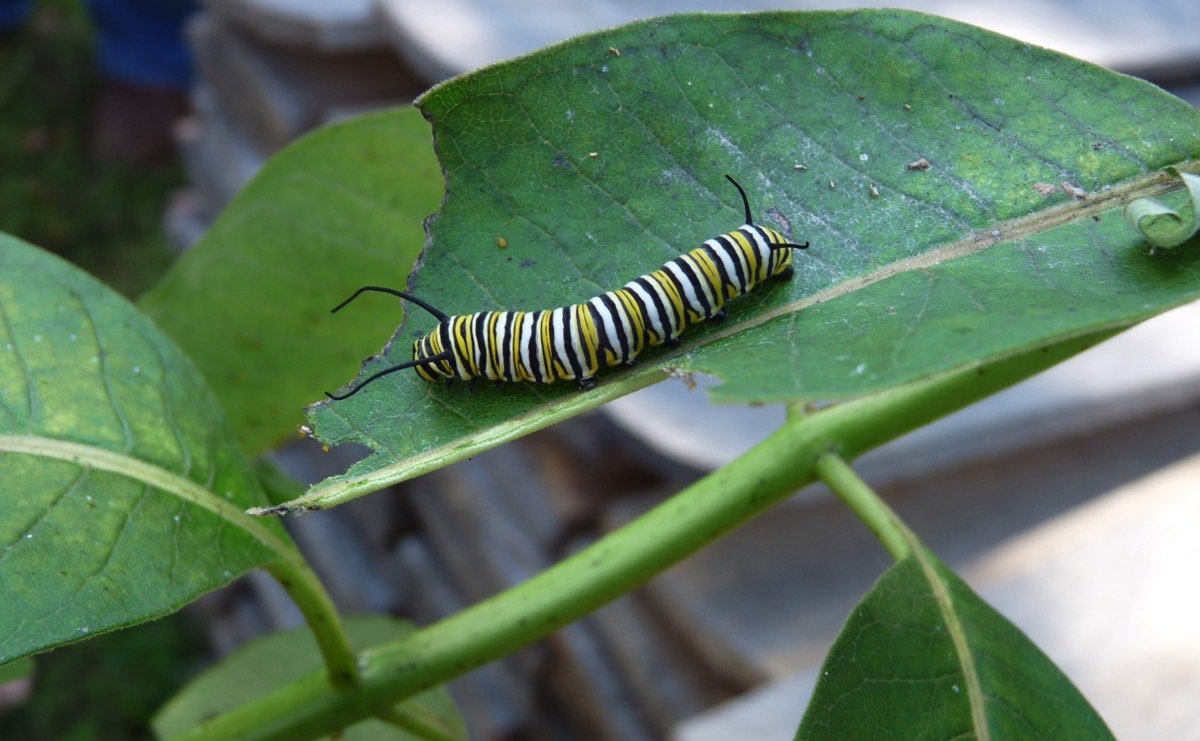 caterpillarleaf.jpeg