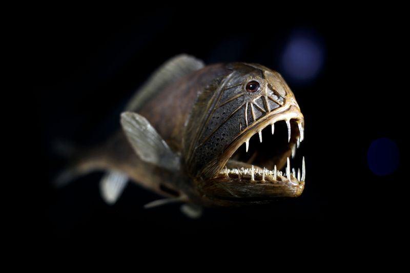 ocean-creatures-fangtooth-fancy.jpg