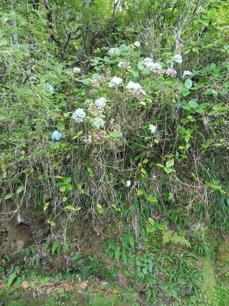 Vadon növő hortenziabokrok